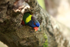 Rainbow Lorikeet,West Australia Royalty Free Stock Photo