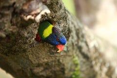 Rainbow Lorikeet,West Australia. Rainbow Lorikeet hide in wood house royalty free stock photo