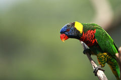 Rainbow Lorikeet,West Australia Royalty Free Stock Image