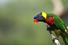 Rainbow Lorikeet,West Australia. Beautiful Rainbow Lorikeet From West Australia royalty free stock image