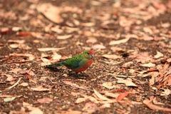 Rainbow Lorikeet,West Australia royalty free stock images