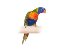 Rainbow Lorikeet on white background Royalty Free Stock Photos