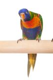 Rainbow Lorikeet on white background Stock Photography