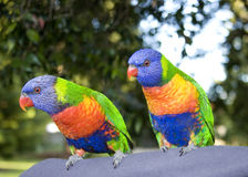 Rainbow lorikeets Stock Photography