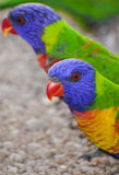 Rainbow lorikeets. Rainbow lorikeet parrots in Queensland, Australia Stock Photo