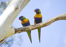 Rainbow Lorikeets. A pair of rainbow lorikeets (Australian parrots) sitting on a gum tree Stock Photography