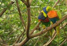 Rainbow Lorikeets Fotografia Stock Libera da Diritti