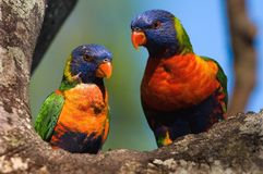 Rainbow Lorikeets. The Rainbow Lorikeet, Trichoglossus haematodus is a species of Australasian parrot found in Australia, eastern Indonesia (Maluku and Western Royalty Free Stock Photo