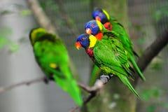 Rainbow lorikeets Stock Images