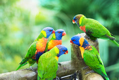 Rainbow Lorikeets. The Rainbow Lorikeets are eating sweet corn in the park Royalty Free Stock Image