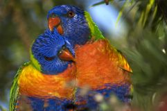 Rainbow Lorikeets. Close up of a loving pair of Rainbow Lorikeets in a tree royalty free stock images