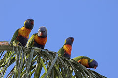 Rainbow Lorikeets. Lorikeets lining up to feed on a palm tree Stock Photos