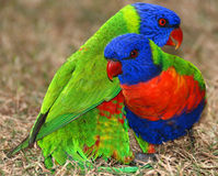 Rainbow Lorikeets Royalty Free Stock Photos