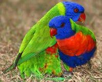 Rainbow Lorikeets Fotografie Stock Libere da Diritti