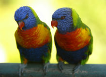 Rainbow Lorikeets Royalty Free Stock Image