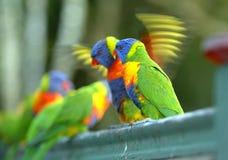 Rainbow Lorikeets Royalty Free Stock Images