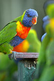 Rainbow Lorikeets Stock Image