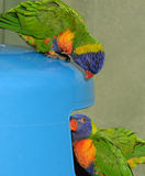 Rainbow Lorikeets bin diving. Stock Photo