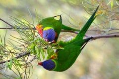 Rainbow lorikeets eating food Stock Image
