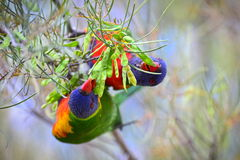 Rainbow lorikeets eating on a tree Stock Image