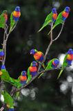 Rainbow lorikeets gather in a tree, queensland, australia Royalty Free Stock Photography