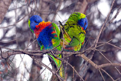 Rainbow lorikeets in  heart shape Stock Image