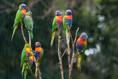 Rainbow Lorikeets In The Rain. Stock Photos