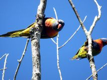 Rainbow Lorikeets looking down against a blue sky Stock Photography