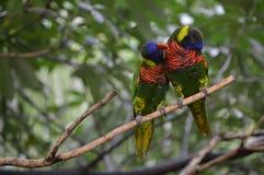 Rainbow Lorikeets Love Birds Royalty Free Stock Photos