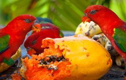 Rainbow lorikeets in a manger requests food. Stock Photos