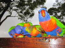 Rainbow Lorikeets. One rainbow lorikeet stares straight into the camera as the others tuck in to a tasty snack Royalty Free Stock Photography