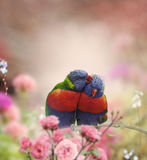 Rainbow Lorikeets Royalty Free Stock Photo
