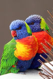 Rainbow Lorikeets, Trichoglossus haematodus Royalty Free Stock Images