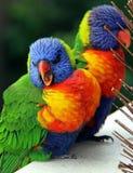 Rainbow Lorikeets, Trichoglossus haematodus Stock Photography