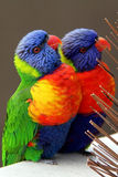 Rainbow Lorikeets, Trichoglossus haematodus Stock Photo