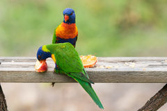 Rainbow Lorikeets, Trichoglossus moluccanus, eating apples Royalty Free Stock Photos