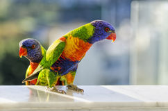 Rainbow Lorikeets. Two beautiful Australian Rainbow Lorikeets Stock Image