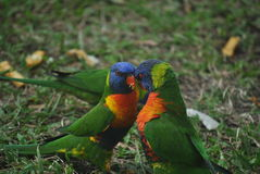 Rainbow lorikeets Stock Photos