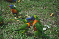 Rainbow lorikeets. Two Rainbow lorikeets face to face, Australia, mating dance Stock Photos