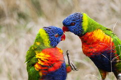 Rainbow lorikeets Royalty Free Stock Images