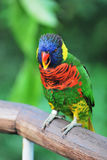 Rainbow Lory Stock Photography