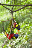 Rainbow Lory Stock Photos