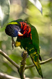 Rainbow Lory Royalty Free Stock Photography