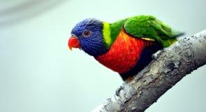 Rainbow Lory Royalty Free Stock Photo