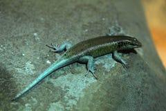 Free Rainbow Mabuya (Trachylepis Margaritifera) Royalty Free Stock Photo - 55563325