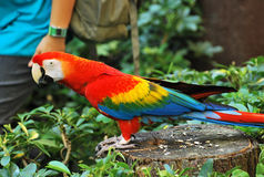 Rainbow Macaw. A photo taken on a rainbow macaw at a park stock images