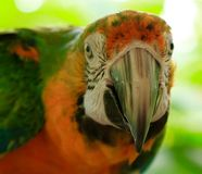 Rainbow Macaw, Exotic, Bird, Amazon Parrot, Species Stock Photo