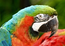 Rainbow Macaw, Exotic Bird Royalty Free Stock Photography