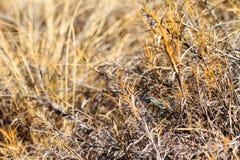 Rainbow Milkweed Stock Photos