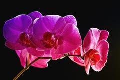 Rainbow orchid Stock Photo